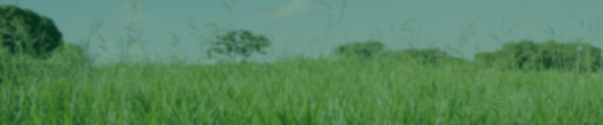 A Ruziziensis é um tipo de Brachiaria forrageira de uso restrito, sendo utilizada principalmente em áreas de integração com lavoura, exclusiva como cobertura de solo e produção de palhada. Tem como características relevantes o rápido estabelecimento a boa qualidade forrageira, o excelente consumo por porte dos animais e a baixa resistência à cigarrinha da pastagem.