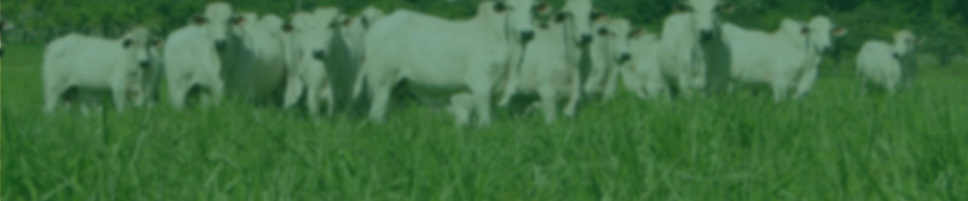 A Brachiaria brizantha cv. Marandu tem como principais características resistência às cigarrinhas-das-pastagens, alta produção de forragem, persistência, boa capacidade de rebrota, tolerância ao frio, à seca e ao fogo. Exige solos bem drenados, de média a alta fertilidade onde produz de 8 a 20 toneladas de matéria seca por hectare, por ano.