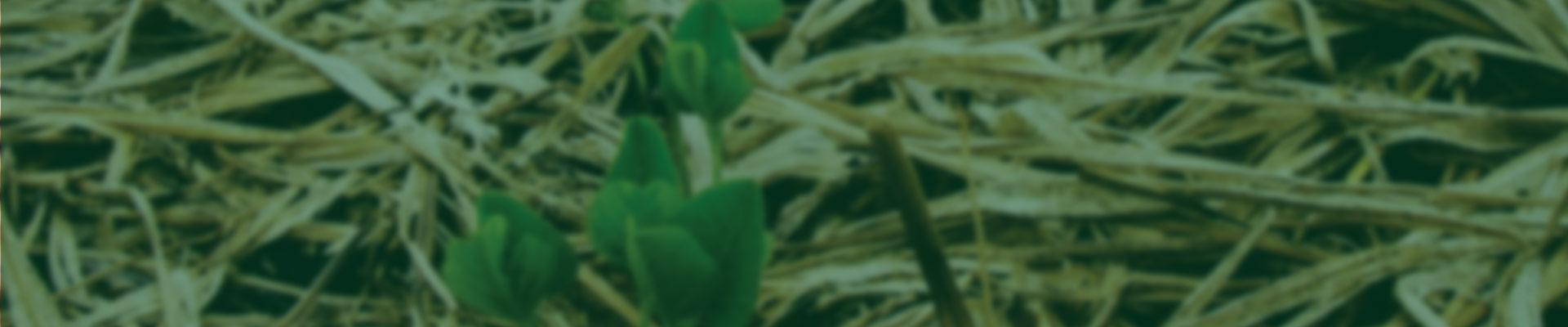 O capim piatã apresenta boa qualidade e alta produção de folhas. Sua produção total média de forragem é de 9,5 t/ha de matéria seca ao ano, com 57% de folhas. Trinta e seis por cento dessa produção se dá durante o período seco do ano, favorecendo o desempenho animal nesse período.
