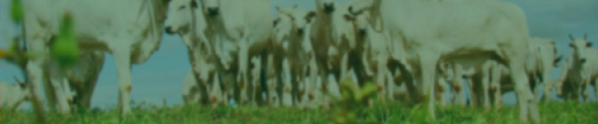 Conheça também a linha fosfatada da Mineirão Sementes para uso na pecuária. Com a linha fosfatada, sua pastagem pode obter excelentes resultados! Somos os pioneiros no Brasil a implementar essa tecnologia para que você garanta mais economia e segurança em seu plantio.