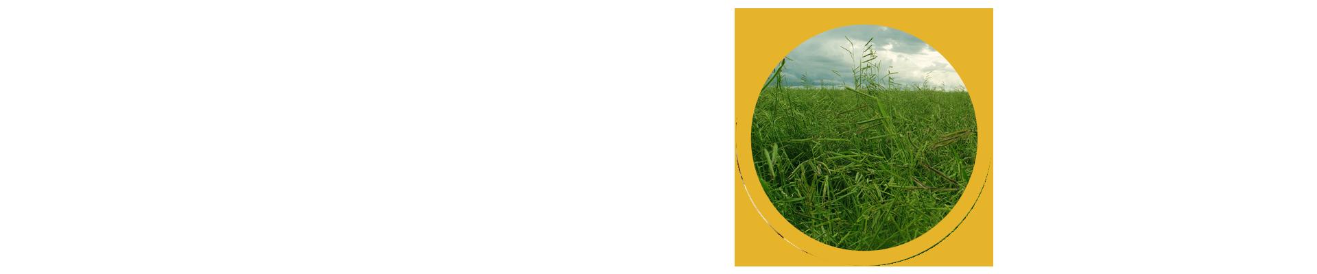 Mineirão Sementes para Pastagem está expandindo suas produções para melhor atender as demandas do agronegócio do Brasil! Além disso, somos referência no mercado de forrageiras, tanto no Brasil, quanto no exterior, pela alta qualidade de nossas sementes, o que se deve ao trabalho focado na produção de alto vigor.