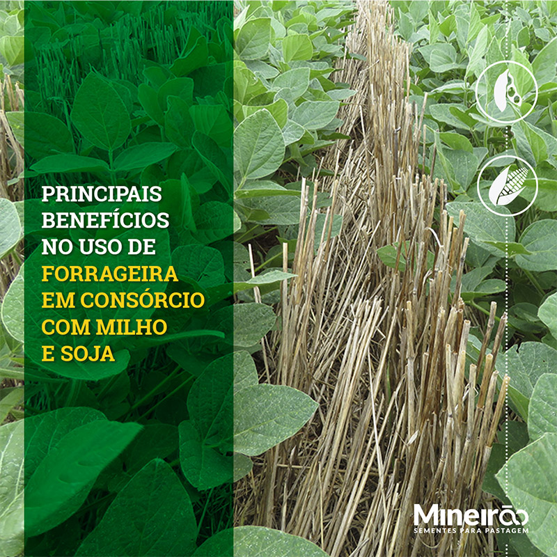 Veja as vantagens em fazer consórcio com o uso das PASTAGENS no seu plantio: Redução de temperatura do solo; Maior cobertura do solo; Aumento de Umidade; Maior enraizamento; Quebra da compactação - afofamento do solo até as camadas mais profundas