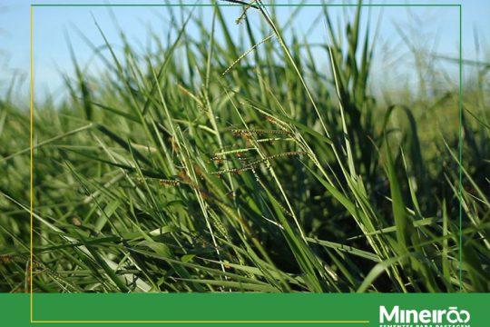 Conheça alguns critérios para a escolha de forrageiras.O produtor deve considerar as características da espécie forrageira, da fazenda e da atividade, como cria, recria, engorda ou silagem.