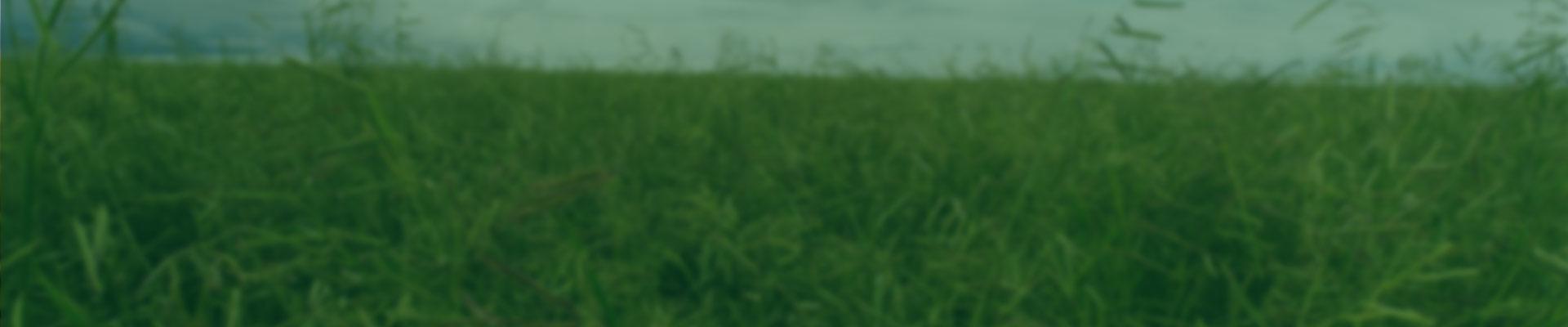Um dos mais populares capins do Brasil, a forrageira Brachiaria é cultivada em aproximadamente 70 milhões de hectares no país. Apresentando tolerância média à seca e ao frio, o capim Brachiaria floresce bem em solos sem umidade, é resistente à cigarrinha, possui bom valor forrageiro e elevada produção de massa verde.