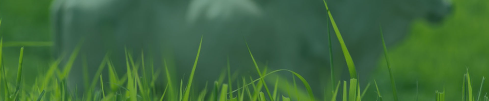 Os capins panicuns são plantas tropicais oriundas do continente africano, que foram introduzidas no Brasil como forrageiras com grande sucesso, principalmente no Centro-Oeste e Norte brasileiro. Apesar da finalidade de ambas (panicuns e brachiarias) serem para formação de pastagem, são de gêneros diferentes.