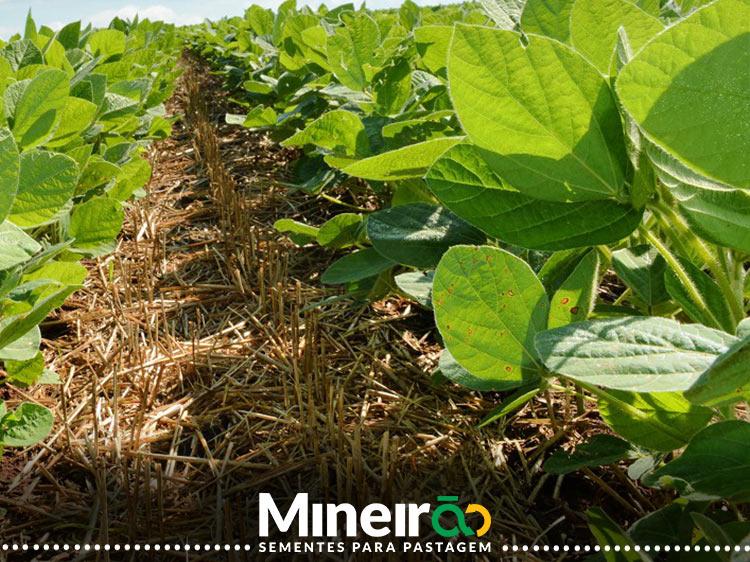 Trabalho da Embrapa realizado na Fazenda Gravataí em Rondonópolis, MT mostra resultados positivos na produtividade da soja. O estudo foi realizado ao ser plantada com feijão caupi junto com as braquiarias na safrinha que antecedeu a cultura da soja.